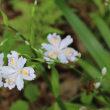 パンセの庭の花 5月19日