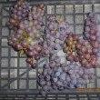 ブドウ 2回目の収穫