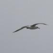 4/27探鳥記録写真(はまゆう公園の鳥たち:カワラヒワ、ホオジロ、セグロカモメの飛翔)
