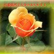 『 秋薔薇燃える命のあるがまま 』余命交心qq1604