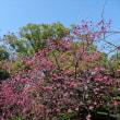 「カンヒザクラ」/清澄庭園