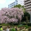 山下公園のしだれ桜 ( 神奈川県横浜市中区 2018.3.22 )