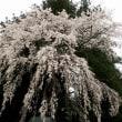 堂山王子神社のしだれ桜 ( 福島県田村市 2018.4.14 )