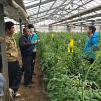 今作3回目のJA古川半促成トマト部会現地検討会が開催されました