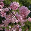 満開の桜―四季の森公園