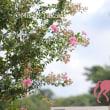 馬事公苑のサルスベリ
