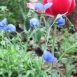 oneboke みちこ今日の庭 宿根アマとクレマチス そして蕪とほうれん草の夕飯