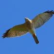 2017.10.17(火)の日誌(秋の鷹渡り#17-05-02:アカハラダカの飛翔)