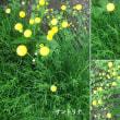 サントリナの花は