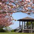 丘の上の八重桜
