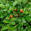 テリハノイバラ 橙紅色の果実
