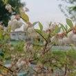ブルーベリーの花も咲いてます。