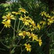 庭に咲くツワブキの花