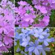 フロックスの花は