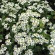 <シロヨメナ(白嫁菜)> 山野に群生する野菊の仲間