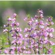 記憶に残したい花風景・2016 ~ミソハギ