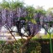 2018.4.22 藤岡に新しい藤の花を咲かせよう!
