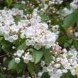 初夏の花  カルミア