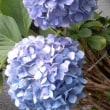 やっぱ、紫陽花?