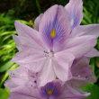 睡蓮鉢に浮かぶ薄紫色のホテイアオイが突然咲いた
