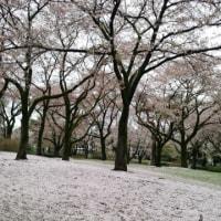 雪?桜?…そして訂正