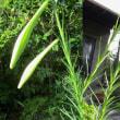 細い葉のユリと小葉のギボウシ・・・
