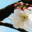 今年の十月桜は