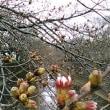 三澤川の桜3月18日
