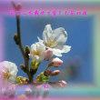 『 花びらを載せて愛しむ花の夜 』物真似575春zqw1805
