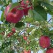 地場産 「津久井のリンゴ」    相模原市緑区青根産