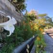 鉄砲ユリが咲いています