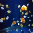 「くらげ水族館」   山形県鶴岡市立加茂水族館