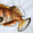 キジハタ(幼魚)の水彩画 : 愚か者の筆②