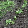 ゴーヤ苗植える