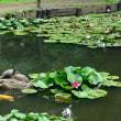 睡蓮・亀・鯉