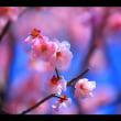 京都の梅園花