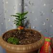 コーヒーの木を植える
