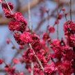 梅の花。きょうの一句は「山笑ふ」