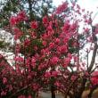 梅の花を撮りました