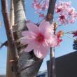 人生花開く、いいえ花ばなの開花です。