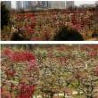 大阪城公園の梅満開になりました