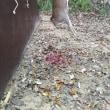鹿一頭獲れました。