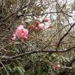やっと梅の花が開き始めた