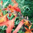 韓国の国花 むくげの花