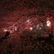 今日は最高の夜桜日和でした(´・ω・`)