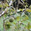秋路で撮った、この実、なんの実、木に生る実