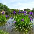 大池の水辺で、カキツバタが咲き始めていました