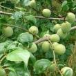 梅に桃、そして