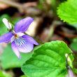 春の花・オオタチツボスミレ1