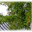 秋の代名詞(^^♪大阪府の木になっている ヒスイ色のイチョウの実「銀杏(ぎんなん)」
